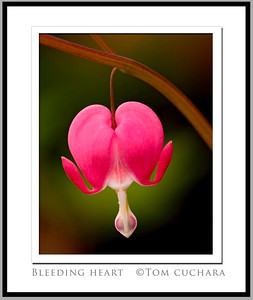 2_Tom 3495_bleeding heart framed_