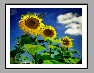 4_sunflowers framed_