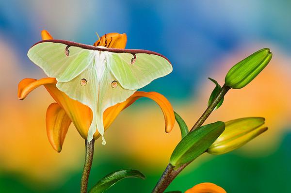 #263 Luna Moth