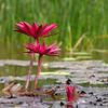 Lotus and green