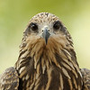 A Black Kite that landed in a tree about 10' away from me and had no idea what to do next!