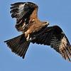Juv. Black Kite