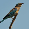 Indian Roller shot with 80-400vr