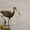 A limpkin catches its morning meal. July 10, 2013.