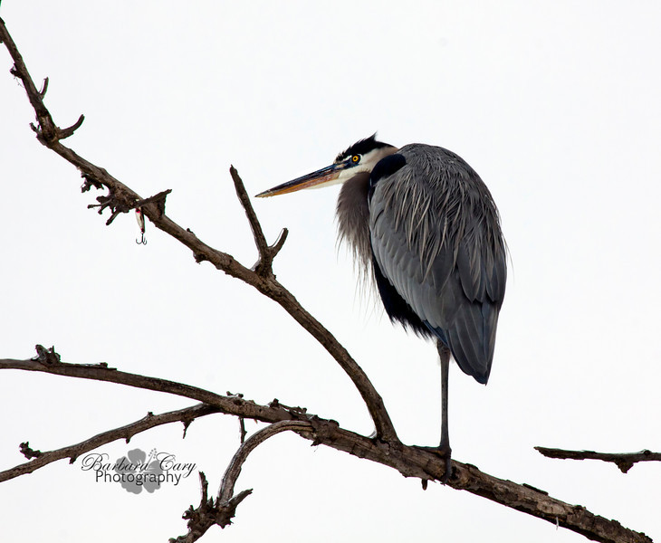 Look at the branch directly in front of the blue heron's peak...it's a fishing lure that has snagged the tree branch.  IMG_4781
