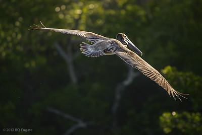_Q106932 Brown Pelican