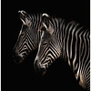 Black and White<br /> Denver Zoo Zebras