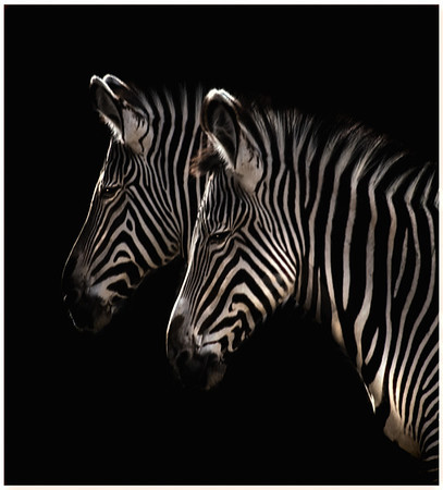 Black and White Denver Zoo Zebras