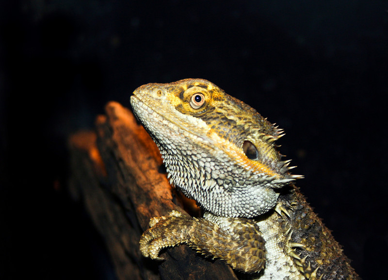 bearded dragon_IMG_8726