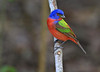 Painted Bunting at High Island, April 19, 2012.
