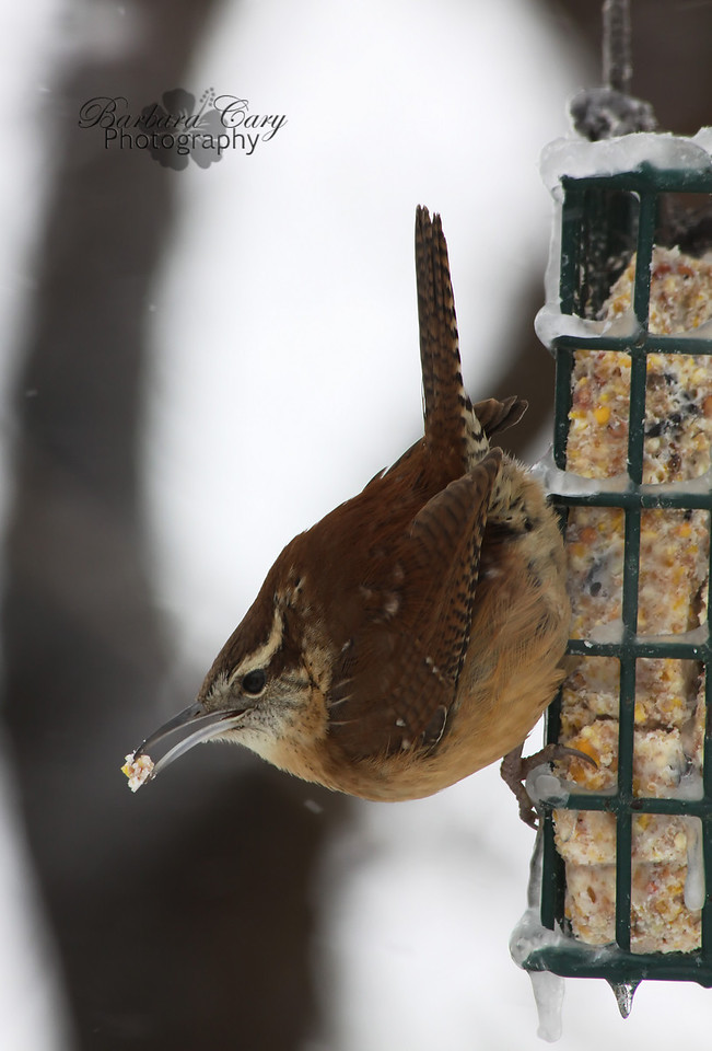 A little wren snatching some suet. These are my favorite birds. They are so cute and quick too. The flecks of white are snow falling. It has been a rough winter for the birds. I try to make sure there is always a little something for them in my backyard.