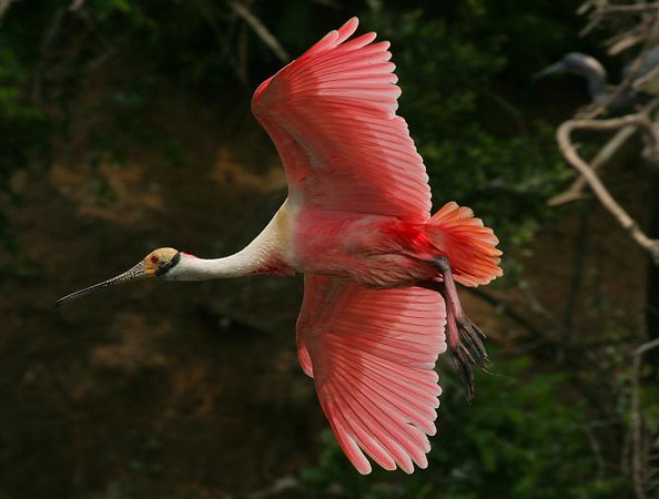 Taken at Smith Oaks Rookery on High Island, Texas in April 2007. Roseate Spoonbill.