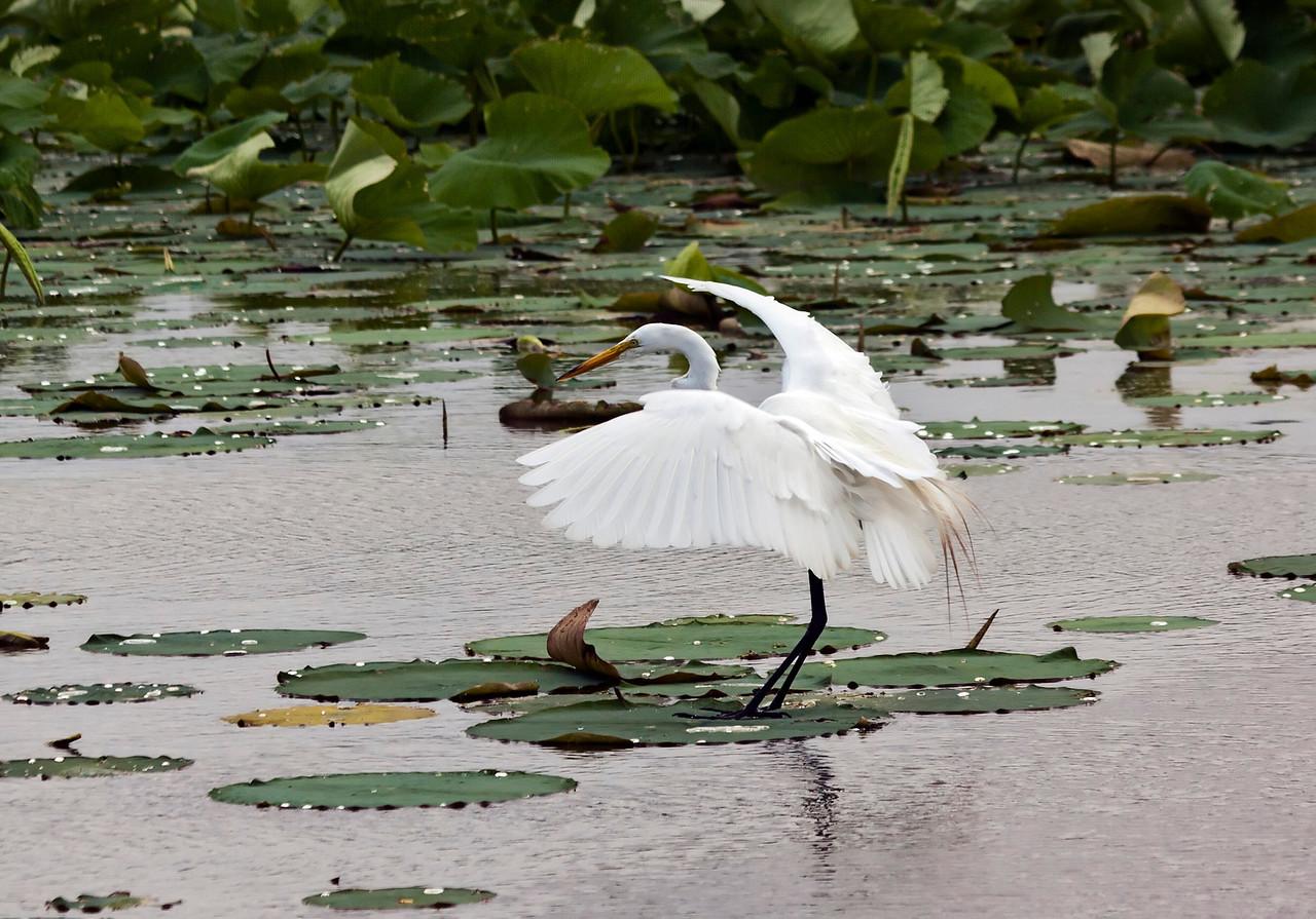 white egret on lilly pad_Horseshoe Lake 6 27