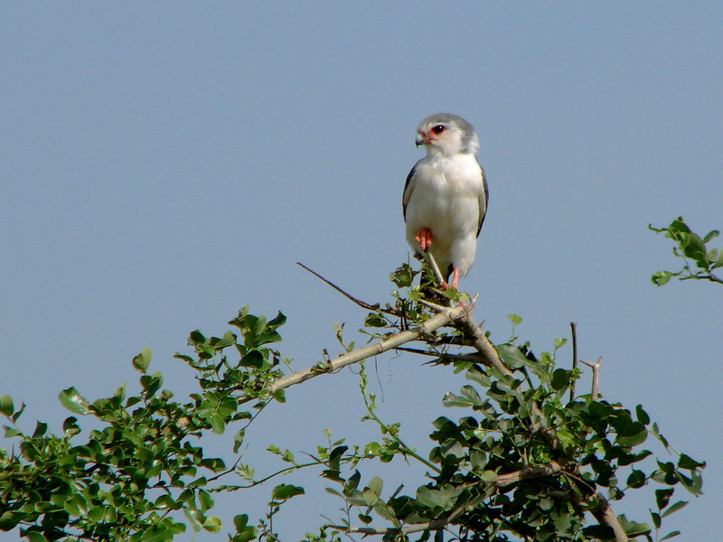 "Pygmy falcon, 5"" to 8"" long; Tarangire"