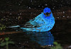 Untouched photo. The male Blue Bunting under certain flash conditions lights up in irridescent glory.