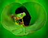 3$Cuchara, Lisa$Tiger Legged Frog in Banana Leaf