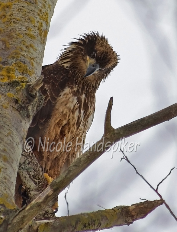 Young Bald Eagle.