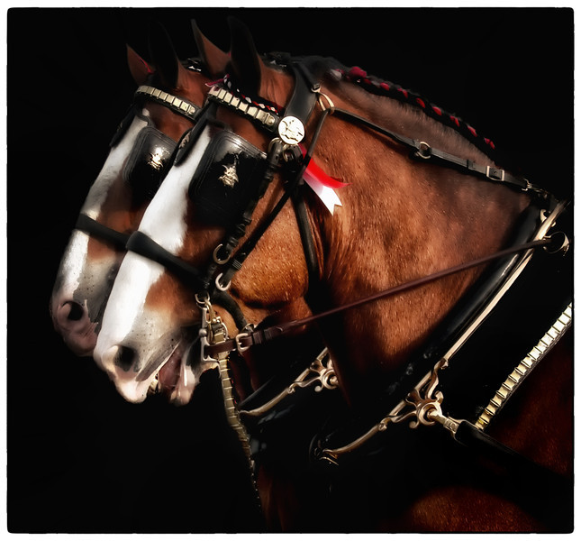 Budweiser Clydesdale Horses<br /> Came to town yesterday 12/28/2011