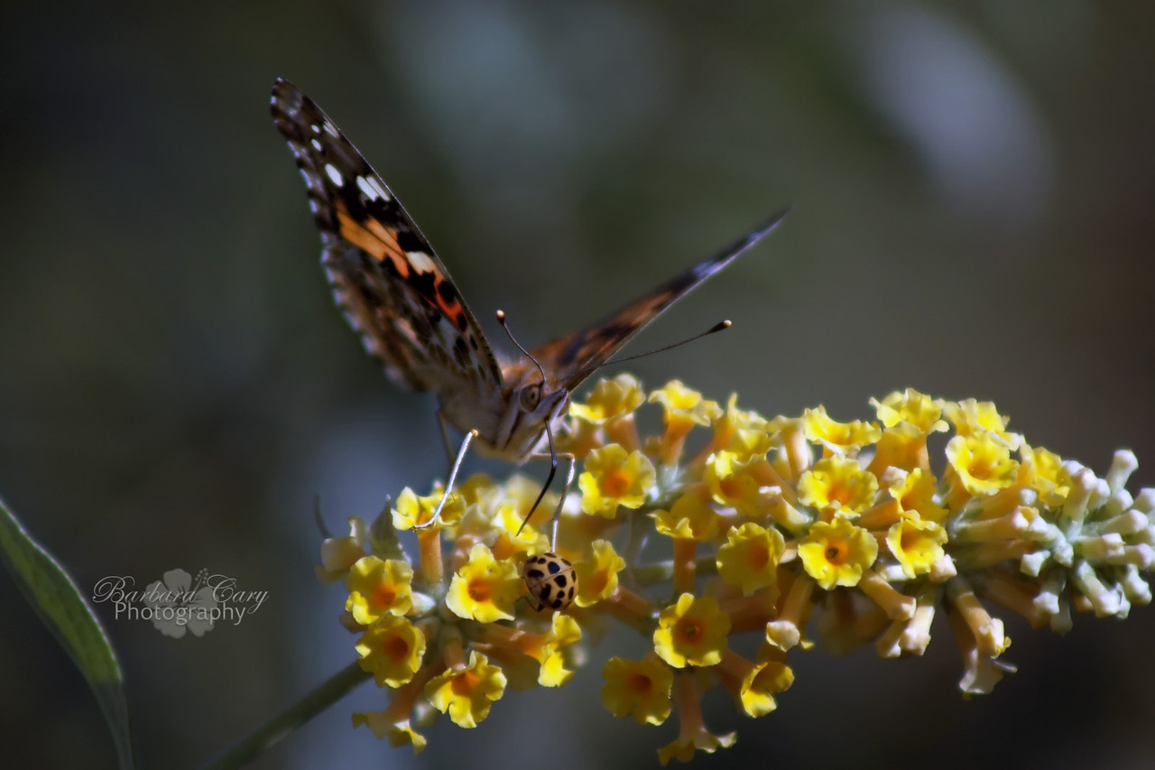 This was taken in my backyard. Butterflies really like butterfly bushes. I really like butterflies. I think this is called a symbiotic relationship. It works for me. Hope everyone is staying out of the cold. Be safe.