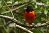 Baltimore Oriole at Boy Scout Woods photo blind, 4-29-09.