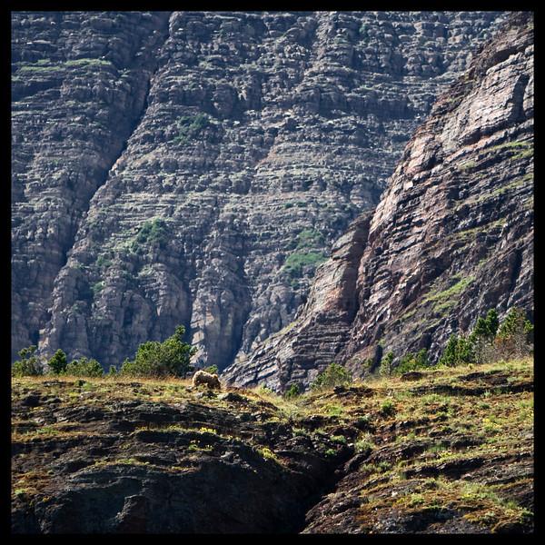 Grizzly Bear - Glacier National Park