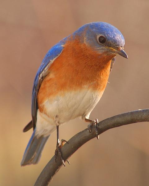 Blue Bird in the backyard.