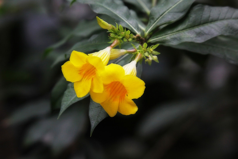 Yellow bells grunge 086