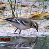 Juvenile Citrine Wagtail, Kelling Water Meadow, Norfolk, August 2003 (Steve Gantlett).