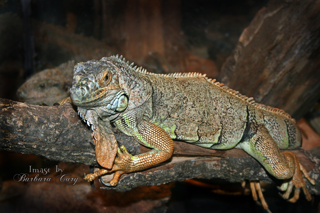 big lizard_IMG_8746