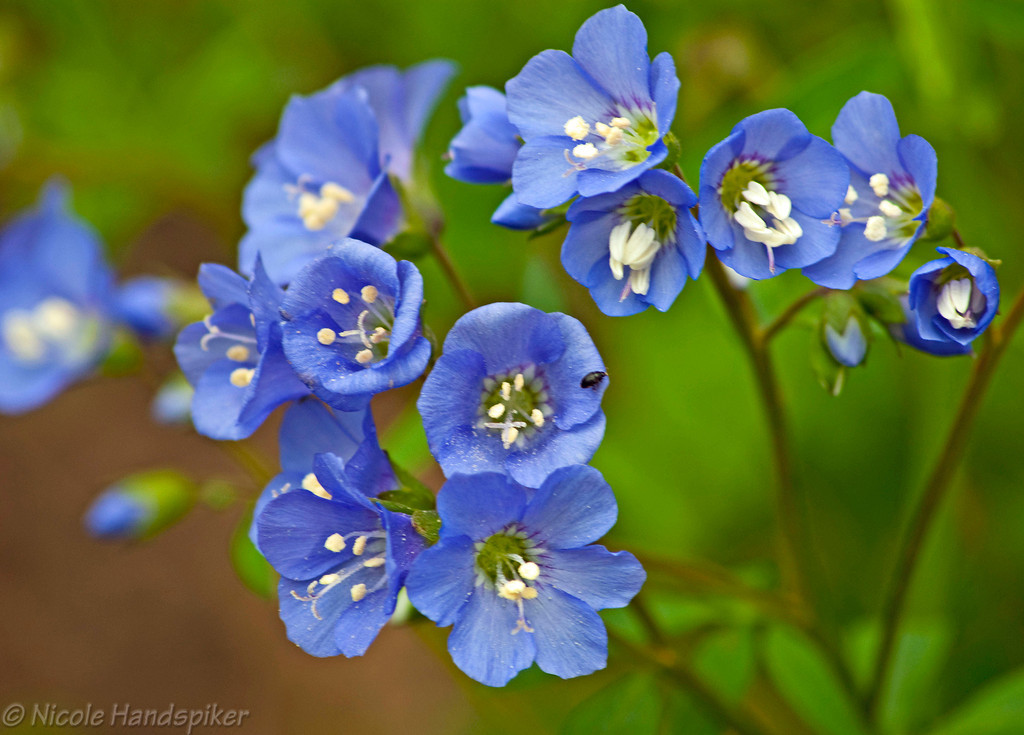 Jacobs Ladder plant blooms.