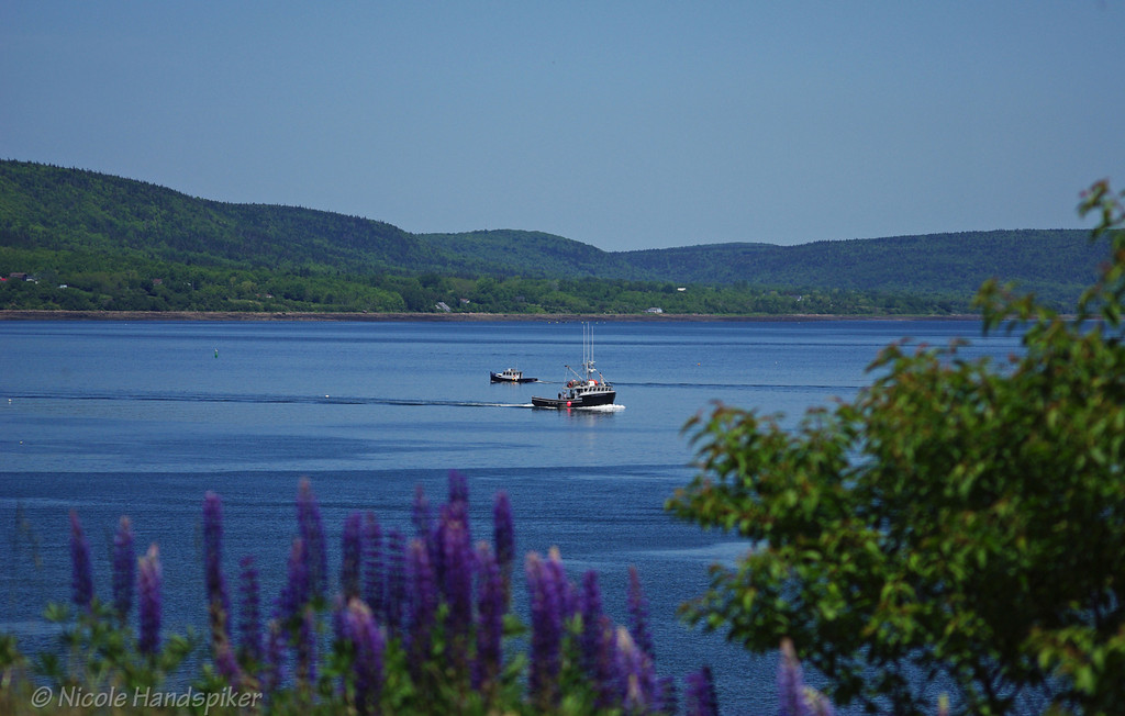 Boats in the Annapolis basin with lupins in the foreground.