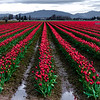 Skagit Valley Washignton Tulips in full bloom