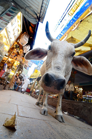 Man and cow coexisting in Varanasi's narrow streets.