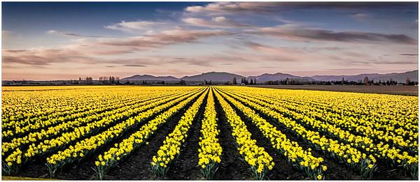 Fields of Daffodills