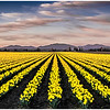 Fields of Daffodills