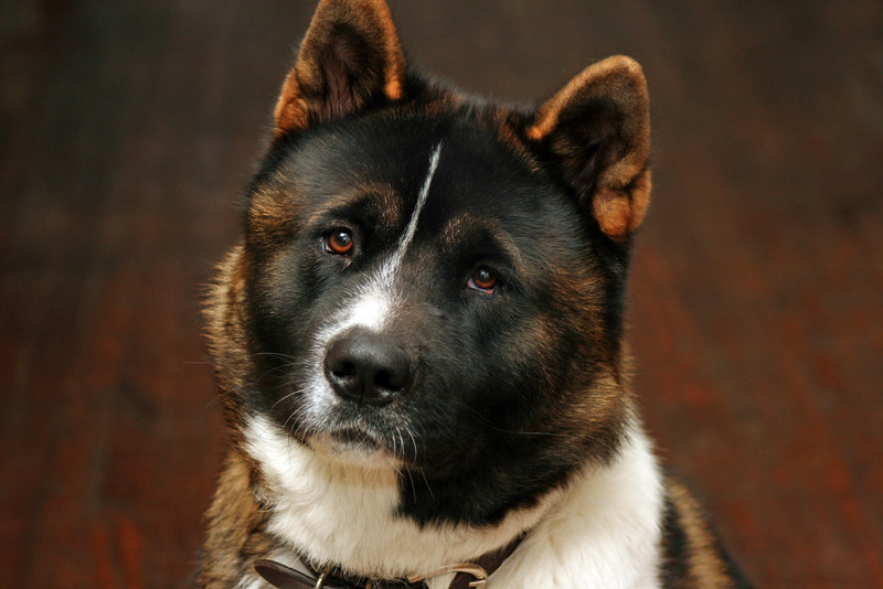 This is Roman. He was a very beautiful and noble Akita. I'm sad to say he had a brain tumor and had to be put down.