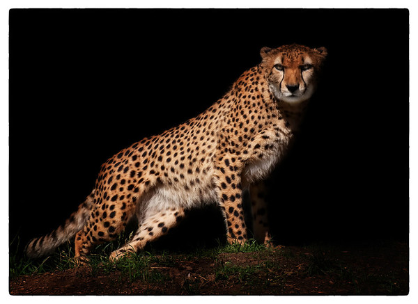Night Stalker Cheetah