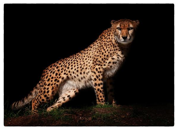 Night Stalker Cheetah