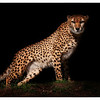 Night Stalker<br /> Cheetah