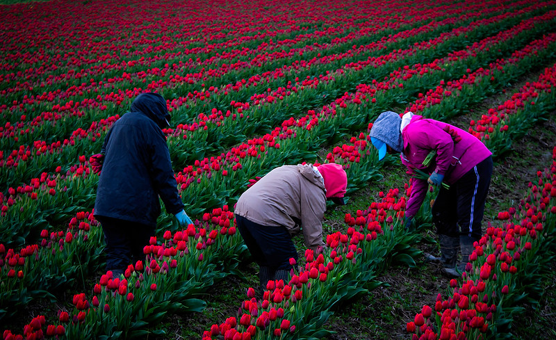 Cutting the Tulips