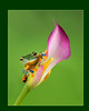 Frog on Calla Lily
