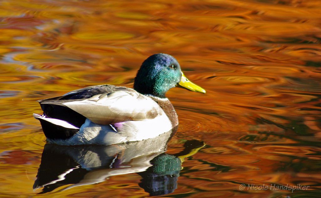 Male Mallard with fall trees reflecting color on the water.  <br /> <br /> Sold a limited number of framed pictures and donated a framed print to a Ducks Unlimited auction.  This is one of my all time favorite captures, this duck stopped in the perfect spot in the sun.  It was almost as if he was posing for me and only left when I was done :)