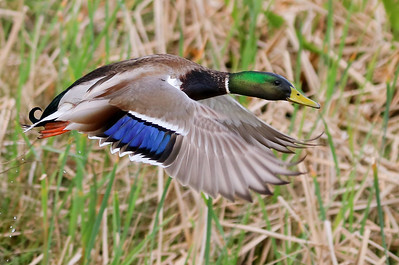 A Mallard drake takes off and accelerates.