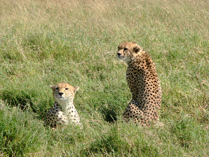 Cheetahs on the Serengeti; A pair of young brothers