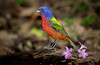 Painted Bunting at drip. I got bored and added the weed flowers for color-blame it on me!