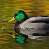 Mallard duck reflection.