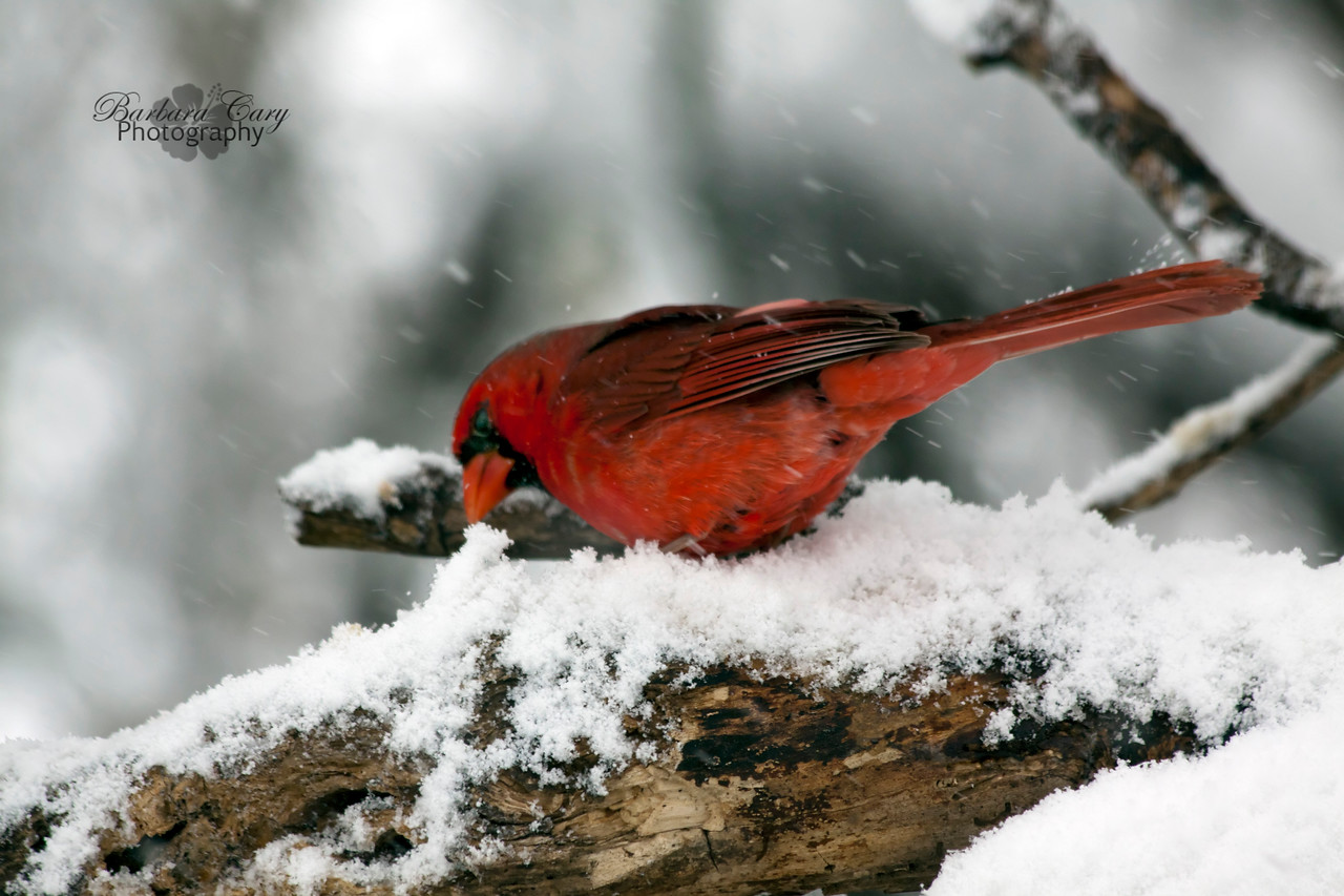 cardinal in snow_IMG_1733