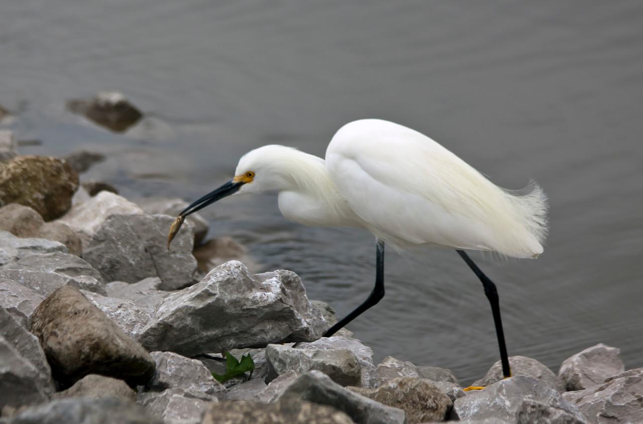 snowy egret_IMG_8761-1