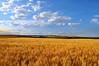 Barts_Wheat