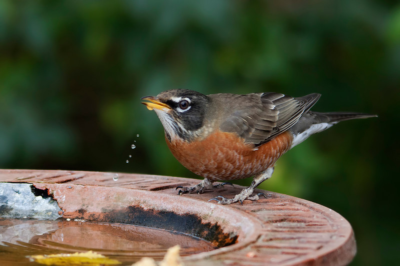 Finally I got the drip and good focus in the same shot. Thank you little robin for stopping by my birdie watering hole. 11.10.11